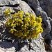 Immergrünes Felsenblümlein