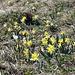 Im Hang unter dem La Dôle: Osterglocken soweit das Auge reicht