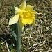 So grosse Blüten auf derart kurzen Stielen