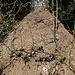 Dieser Ameisenhaufen ist ca 80 cm hoch