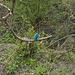 Plötzlich fliegt er aus dem Gebüsch heran: der Eisvogel