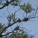auf den Bäumen wimmelte es von Kormoranen