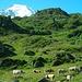 Kühe am Ausgangspunkt Cabane Brunet