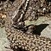 Eidechsen gehören im Tessin immer dazu. Ein neugieriges Kerlchen.