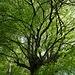 Helles Grün dominierte in den herrlichen Buchenwäldern.