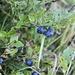 In questo tratto si notano numerose piante di mirtillo stracolme di bacche: segno evidente che gli escursionisti non sono numerosi.