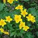 Blumen gibt es, aber noch sehr wenige. Hier Dotterblumen.