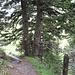 moosige Nadelbäume im Abstieg von der Kanisfluh