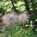 """Fruchtstand des """"Wilden Männle"""", wie die Alpen-Kuhschelle (Pulsatilla alpina) hier genannt wird - man sieht auch weshalb ..."""