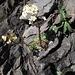 Trauben-Steinbrech (Saxifraga paniculata) - in seinem Element :-)