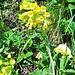 Primula veris L. s.str.<br />Primulaceae<br /><br />Primula odorosa.<br />Primévere du printemps.<br />Gewoenliche-Frühlings-Schlüsselblume.