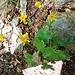 Ranunculus montanus Willd. Ranunculaceae  Ranuncolo montano. Renoncule des montagnes. Gewoehnlicher Berg-Hahnenfuss