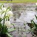 Das Wasser ist leicht gefroren,<br />aber die Märzenbecher blühen