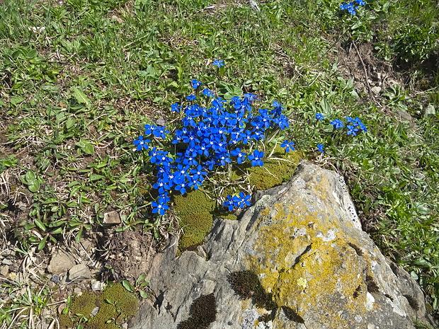Frühlingsenziane