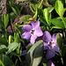 Blüten des Immergrüns