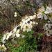 Schlehenblühen aus der Nähe