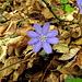 Noch blühen die Leberblümchen