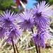 Grosse Soldanellen: filigrane Blütenkunstwerke