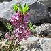 weitere der herrlichen Seidelbastblüten