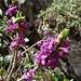 überraschend viele dieser sehr geschätzten Blumen treffen wir an