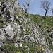 ... wo uns an einem einfachen Felsaufschwung ein Feld der edlen Flueblüemlis erwartet