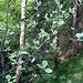 Im Frühling besonders schön: die Echte Meelbeere, die sonnige und trockene Stellen liebt und deren Blätter silbern schimmern (weisse Blattunterseite).