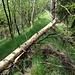 Oben lichtet sich der Wald, der Trampelpfad führt - gut sichtbar - durchs Gras aufwärts.