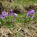 Soldanella gehören zum Frühling