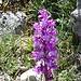 Orchideen am Monte Corrasi.