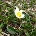 der erste Silberwurz (Ist Symbolpflanze von Lappland und Nationalblume von Island.) dieses Jahr