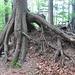 Naturkunstwerk: dieser Baum wuchs über einen nun zersetzten Baumstrunk empor