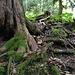 Gut, dass Eiben ausgeprägte, frei liegende Wurzeln haben ... An steilen Stellen sind diese echt hilfreich.