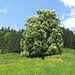 prächtig blühender Kastanienbaum am Toureinstieg