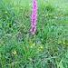 Orchis mascula (L.) s.str.<br />Orchidaceae<br /><br />Orchide maschia.<br />Orchis male.<br />Männliches Knabenkraut.