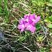Primula hirsuta All.<br />Primulaceae<br /><br />Primula irsuta.<br />Primevère à gorge blanche.<br />Rote Felsen-Primel