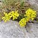 Draba aizoides L. Brassicaceae  Draba aizoide. Drave aizoon. Immergrünes Felsenblümchen.