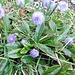 Globularia nudicaulis L.<br />Plantaginaceae (incl. Globulariaceae)<br /><br />Vedovelle alpine.<br />Globulaire a tige nue.<br />Schaft-Kugelblume.