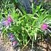 Centaurea triunfetti All.<br />Asteraceae<br /><br />Fiordaliso di Trionfetti.<br />Centaurée de Trionfetti.<br />Trionfetti Flockenblume.