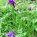 Aquilegia atrata W. D. J. Koch<br />Ranunculaceae<br /><br />Aquilegia scura.<br />Ancolie noiratre.<br />Dunkle Akelei.