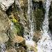 Sumpfdotterblumen im Wasserfall