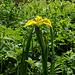 Vereinzelt blühen Schwertlilien