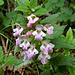 Am Wegrand blüht das Immenblatt (Melittis melissophyllum)