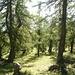Durch die Lärchenwälder oberhalb 1500m