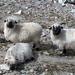 Sheep family.