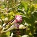 Blüte des Virginischen Tabaks (Nicotiana tabacum).
