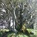 Solche Baumwuchsformen sind Zeichen für eine überdurchschnittlich grosse Lebenskraft am Ort.