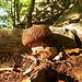 Il primo fungo della stagione: non il nobile <i>edulis</i> bensì un saporito <i>luridus</i>: ma pur sempre un <i>boletus</i>...