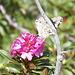 Fiori di rododendro con visitatrice