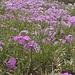 <b>Primula hirsuta.</b>