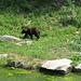 Ein Braunbär in seiner tollen Anlage des Wildpark Langenberg.